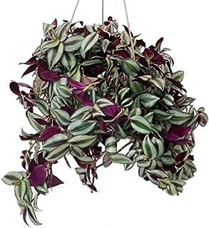 House Live Plant Starter Purple Wandering Jew Hanging 6
