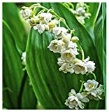 10 Lily of The Valley Prolificans Pips - Semi Double Blossoms Fresh from Holland