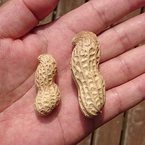『おおまさり 生落花生 1kg』茹で落花生に最適!令和3年千葉県産のジャンボピーナッツ♪