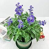 scarlet sage blue plants seeds 30pcs organic salvia farinacea tropical sage salvia splendens fresco facile da coltivare erba piante da fiore semi per piantare giardino cortile all'aperto