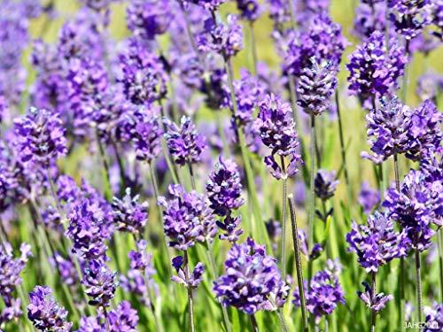 10 x Lavandula angustifolia 'Hidcote Blue' (Lavendel)