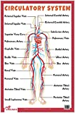 Circulatory System - Thick Laminated Primary Chart