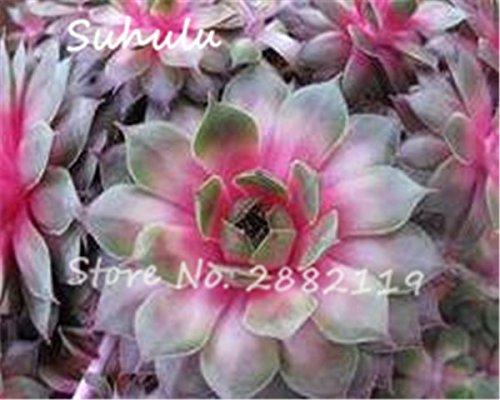 Pas cher 150 Pcs Mini Garden Succulentes Cactus Graines Variées Plantes vivaces Sempervivum Incroyable Maison Poireaux Cultivez Live Forever facile 9