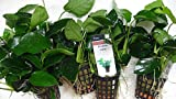 anubias nana - piante vive per acquario