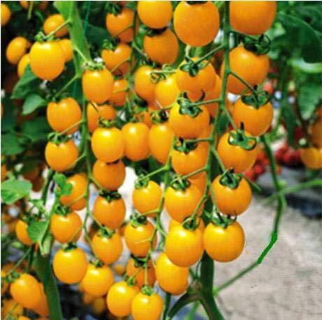 Bloom Green Co. 100pcs Rare Tomate sät Bonsai Bio-Gemüse & amp; Obst Pflanzensamen, Topfpflanze für Heim & amp; Garten Gewächshaus Crop: 8