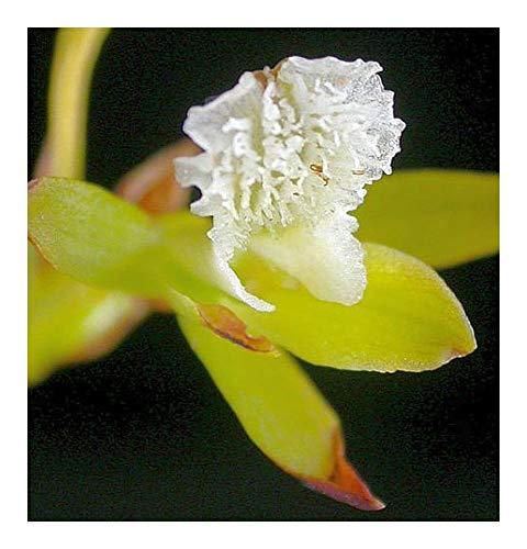 Acrolophia capensis - orchidée - orchidées - 20 graines