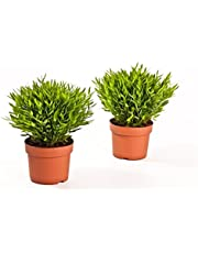 Kamerbamboe, (Pogonatherum Monica), onderhoudsvriendelijke Aziatische kamerplant 2 Pflanzen, je im 12cm Topf