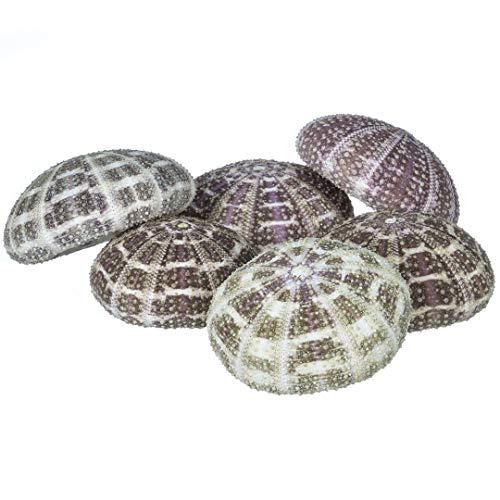 """Alfonso Sea Urchins   6 Alphonse Urchin Shells 2 1/2""""-3""""   Plus Free Nautical eBook by Joseph Rains"""