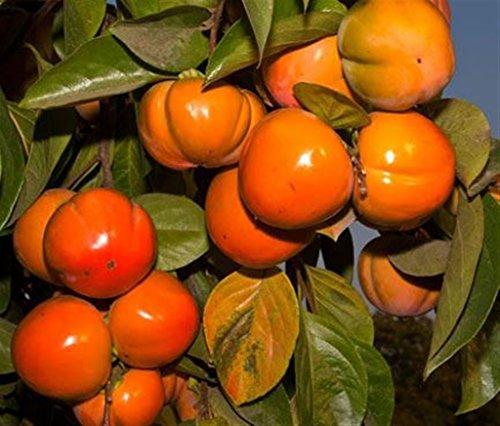Pianta da frutto ALBERO DEI FRUTTI DEGLI DEI - LOTO/KAKI IMPOLLINATORE \'TIPO\' A RADICE NUDA - 1 METRO pianta vera