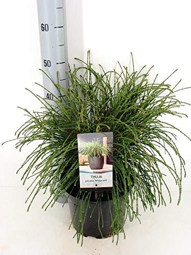 Faden-Lebensbaum - Thuja Plicata Whipcord - 40+cm Topf 5Ltr.