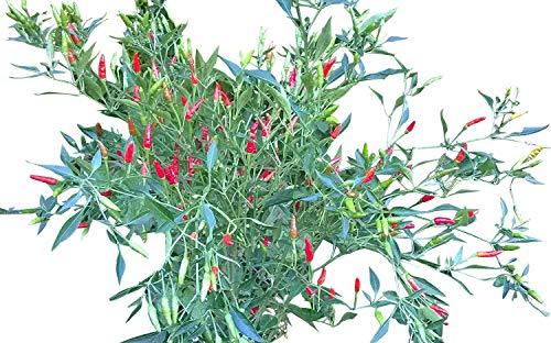 Mini-Thai Chili -Chilli- 10 Samen Bonsai-Thai-Chili ***Hunderte Früchte mit einer Größe von 1 cm***