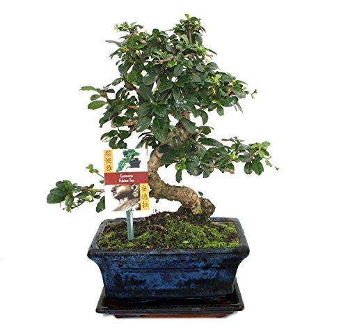 Bonsai Fukientee - Carmona microphylla - 8 ans