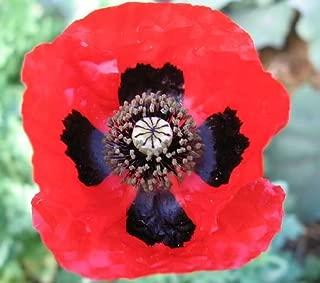 Best ladybird poppy seeds Reviews