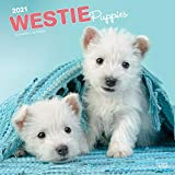 West Highland White Terrier Puppies - West Highland White Te