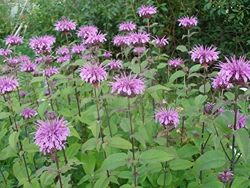 Wilde Bergamotte - Monarda fistulosa - Wilde Indianernessel - Wilde Monarde - 100 Samen