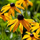 Hardy Perennial Flower Rudbeckia 'Goldsturm' 3 Established Plants in 9cm Pots