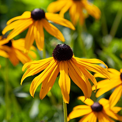 Hardy Perennial Flower Rudbeckia 'Goldsturm' 3 Established Plants in 9cm Pots