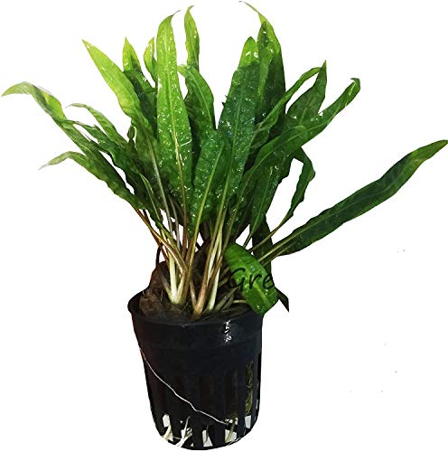 Cryptocoryne Balansae Potted Live Aquarium Plants Freshwater Fish Tank Decorations by Greenrpo