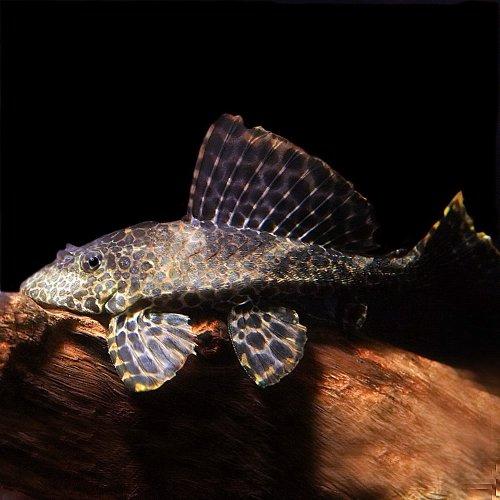 (熱帯魚)セルフィンプレコ 約10cm 1匹 [生体]