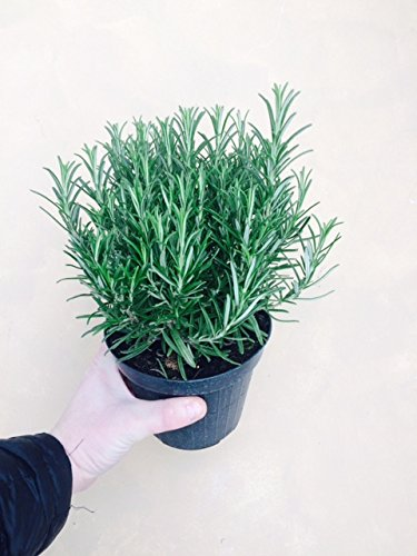 Large Rosemary herb Plant in a one and a Half Litre Pot, Upright Evergreen Plant