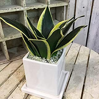 サンスベリア(虎の尾)インテリア陶器鉢・受け皿付き マイナスイオン効果 ミニ観葉植物 鉢植え 癒しの面白リーフ インテリアグリーンにピッタリ 室内向け