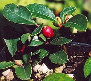 35+ Wintergreen Gaultheria Procumbens Flower Seeds/ Perennial