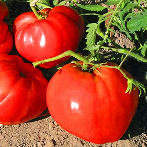 TENGGO Egrow 100 Unids/Paquete Tomate Gigante Semillas Fruta Orgánica Tomate Fresa Roja Bonsai Vegetales Frescos Solanum lycopersicum Plantas en Maceta