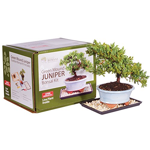 Brussel's Live Green Mound Juniper Outdoor Bonsai Tree Kit - 3 Years Old; 6' to 8' Tall with Decorative Container - Not Sold in California