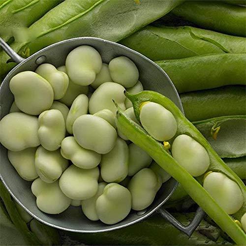ScoutSeed 6 unids Bonsai Semillas de Plantas Frijol Grano Vicia Faba Verduras Casa Jardín