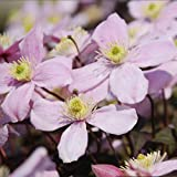 Genuine Plant World Seeds branded packets supplied direct from Plant World Seeds UK One of the easiest-to-grow of all clematis, these flowers open in early spring in colours ranging from pinks to red, and all have the most delicious perfume reminisce...