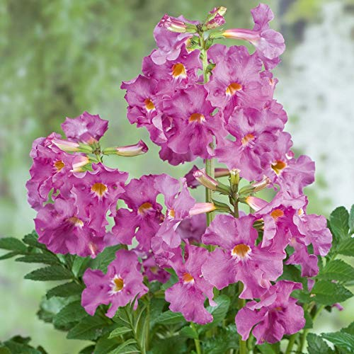 Garten Gloxinie (INCARVILLEA)