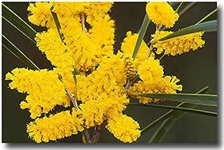 acacia acuminata seeds