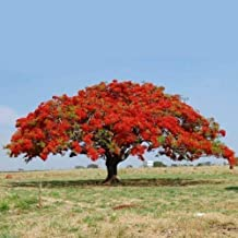 CROSO Germination Seeds ONLY NOT Plants: 10 Seeds Delonix Regia Flamnt Seed
