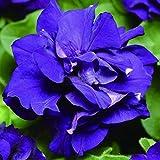 GEESENSS 10 pcs Graines De Pelargonium Bonsaï Plantation Vivaces Géranium zonale Fleurs Balcon Jardin