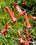 Red Russelia equisetiformis Seed Bonsai Bao Zhang Zhu Blume Pflanze Schöne Zierpflanzen Herrliche Farbe Aerobic Topf 100 2