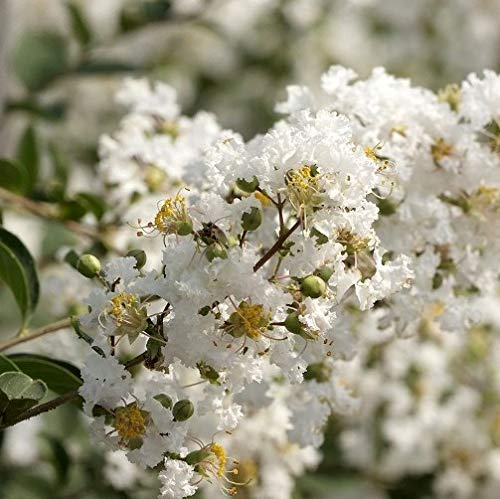 "Lagerstroemia indica ""Blanc"" [Vaso Ø17cm]"