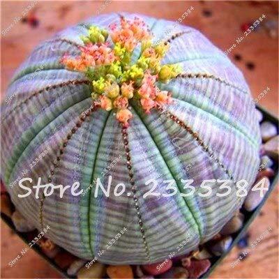 4: Rare Exotic Cactus Seeds Plantes Succulentes Cactus Bleus Pour La Décoration De La Maison Jardin Purifiez L'air Et Empêchent Le Rayonnement - 100 Pcs