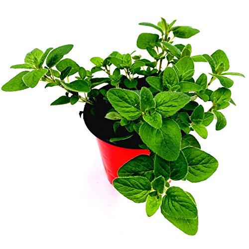 Oregano Pflanze Origanum vulgare Kräuter Pflanze 1stk.