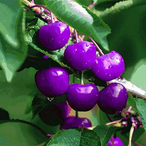 Keptei Samenhaus-20 Stücke Selten bunte Süßkirsche Saatgut Zierpflanze Obstbaum Knorpelkirsche großfrüchtig hochwertig winterhart