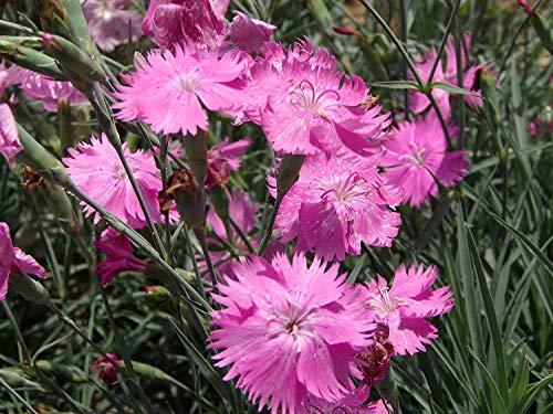 Perennial Dianthus Plumarius Blume 500...