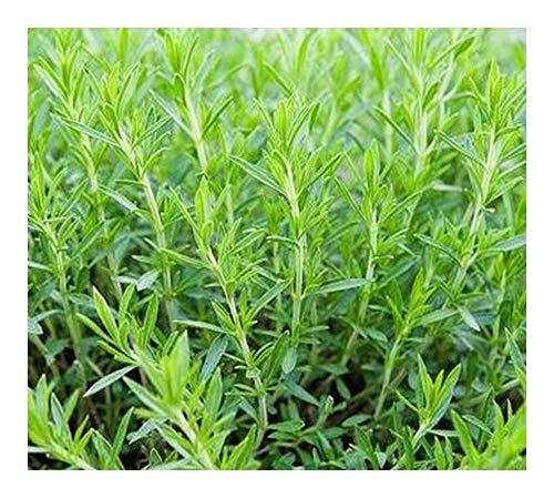 Artemisia dracunculus - Estragon - 20 graines
