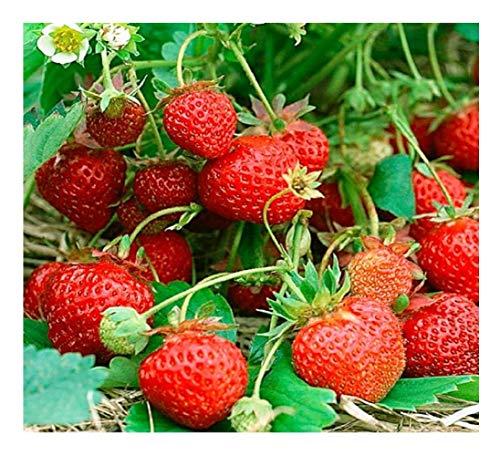 Pack de 200 semillas de fresas de primera calidad para las cuatro estaciones Direct FO-ZJS2-3XAA