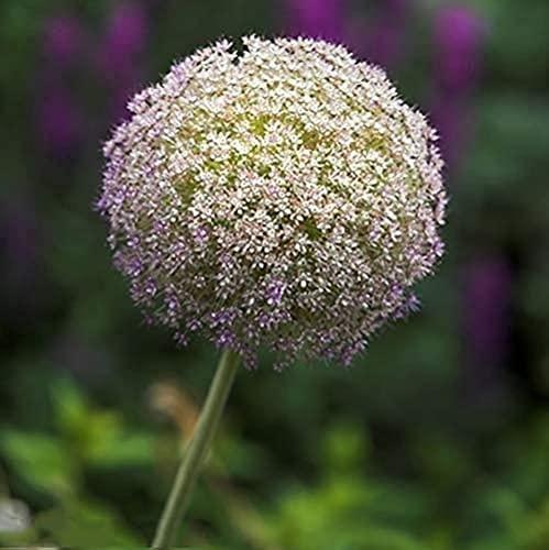 10 Stück Allium Zwiebeln Markiert...