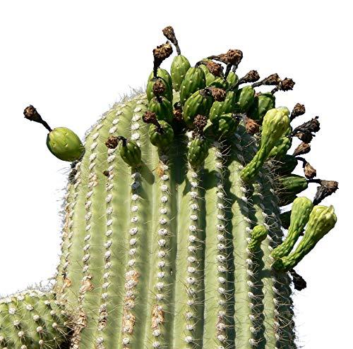 Riesen Kaktus, Carnegiea gigantea Saguaro 15 Samen **Fruchtbildung**