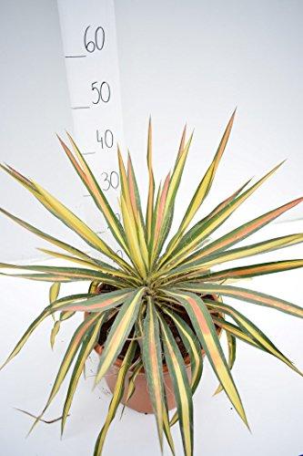 Fädige Palmlilie - Yucca filamentosa Bright Edge® - 45-55cm Topf Ø 27cm