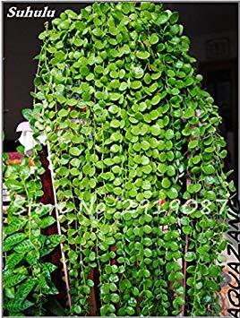 Pearl Chlorophytum Seeds 100 Pcs Hanging type de pot Chlorophytum Plantes fleuries Accueil Air frais intérieur Jardin résistant au froid 5