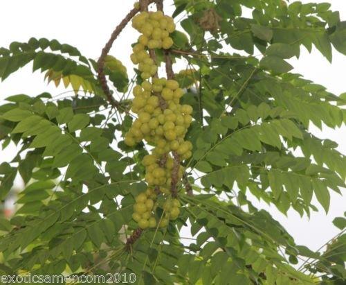 Phyllanthus acidos AMLA Indian Gooseberry Stachelbeerbaum 100 Samen