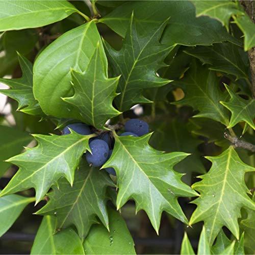 Osmanthe à Feuilles Variables (osmanthus 'heterophyllus')
