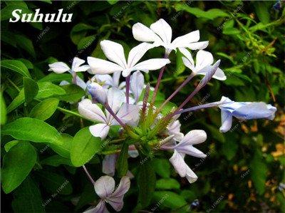 50 Pcs Arabis Alpina neige Graines de pointe extrême froid résistant jardin Bonsai Rare Belle plante et mur fleur Arabette