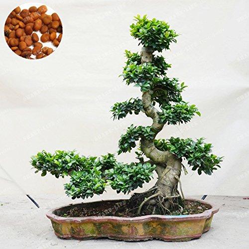 20 Pcs exotiques Bonsaï Banyan Tree Seed Bureau Bureau Ficus ginseng semences vivaces Ficus Microcarpa Le taux bourgeonnant 95%